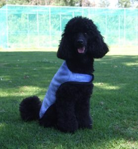 Cool Coat helps dogs with thick coats like Poodles to keep cool on hot days.