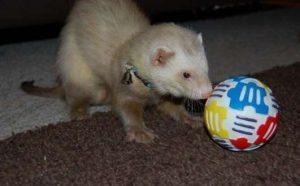 ferret-treat-ball
